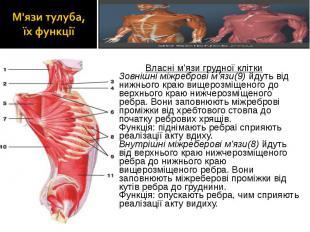 Власні м'язи грудної клітки Власні м'язи грудної клітки Зовнішні міжреброві м'яз