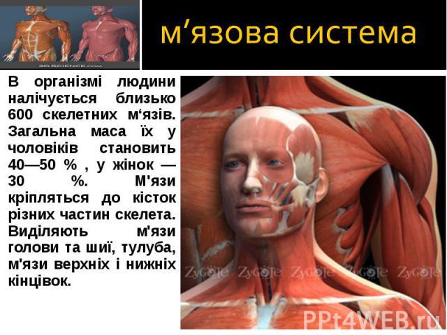 В організмі людини налічується близько 600 скелетних м'язів. Загальна маса їх у чоловіків становить 40—50 % , у жінок — 30 %. М'язи кріпляться до кісток різних частин скелета. В організмі людини налічується близько 600 скелетних м'язів. Загальна мас…