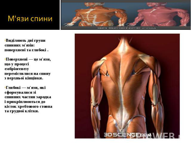 Виділяють дві групи спинних м'язів: поверхневі та глибокі . Виділяють дві групи спинних м'язів: поверхневі та глибокі . Поверхневі — це м'язи, що у процесі ембріогенезу перемістилися на спину з верхньої кінцівки. Глибокі — м'язи, які сформувалися зі…