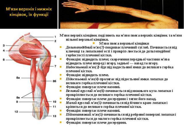 М'язи верхніх кінцівок поділяють на м'язи пояса верхніх кінцівок та м'язи вільної верхньої кінцівки. М'язи верхніх кінцівок поділяють на м'язи пояса верхніх кінцівок та м'язи вільної верхньої кінцівки. М'язи пояса верхньої кінцівки Дельтоподібний м'…