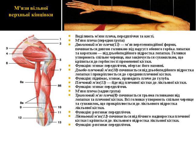 Виділяють м'язи плеча, передпліччя та кисті. Виділяють м'язи плеча, передпліччя та кисті. М'язи плеча (передня група) Двоголовий м'яз плеча(12) — м'яз веретеноподібної форми, починається довгою головкою від надсугл обового горбка лопатки та короткою…