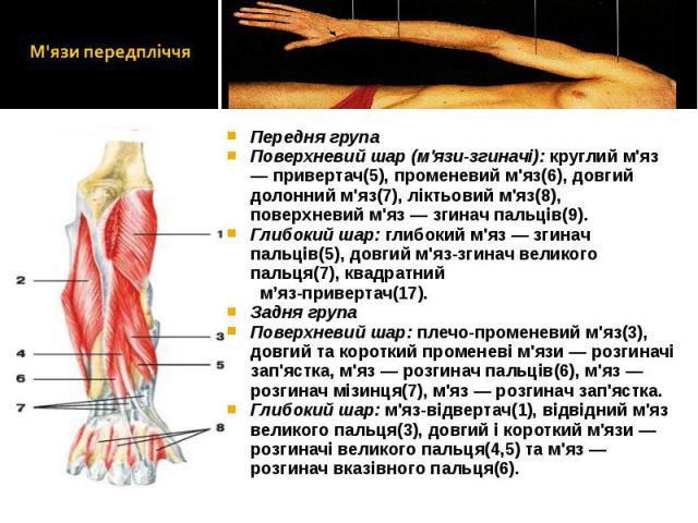 Передня група Передня група Поверхневий шар (м'язи-згиначі): круглий м'яз — привертач(5), променевий м'яз(6), довгий долонний м'яз(7), ліктьовий м'яз(8), поверхневий м'яз — згинач пальців(9). Глибокий шар: глибокий м'яз — згинач пальців(5), довгий м…