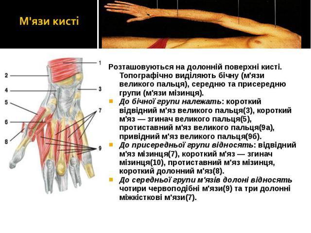 Розташовуються на долонній поверхні кисті. Топографічно виділяють бічну (м'язи великого пальця), середню та присередню групи (м'язи мізинця). Розташовуються на долонній поверхні кисті. Топографічно виділяють бічну (м'язи великого пальця), середню та…
