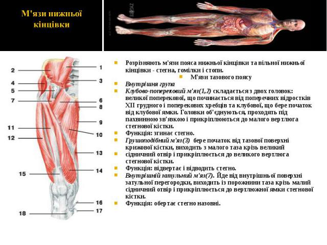 Розрізняють м'язи пояса нижньої кінцівки та вільної нижньої кінцівки - стегна, гомілки і стопи. Розрізняють м'язи пояса нижньої кінцівки та вільної нижньої кінцівки - стегна, гомілки і стопи. М'язи тазового поясу Внутрішня група Клубово-поперековий …