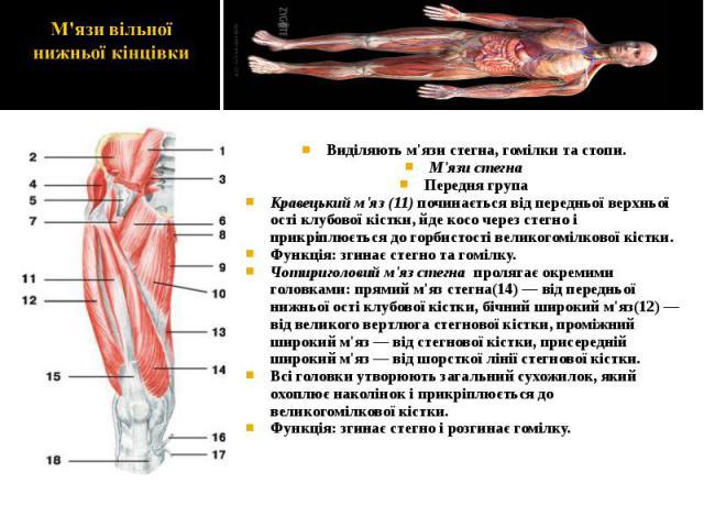 Виділяють м'язи стегна, гомілки та стопи. Виділяють м'язи стегна, гомілки та стопи. М'язи стегна Передня група Кравецький м'яз (11) починається від передньої верхньої ості клубової кістки, йде косо через стегно і прикріплюється до горбистості велико…