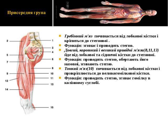 Гребінний м'яз починається від лобкової кістки і кріпиться до стегнової . Гребінний м'яз починається від лобкової кістки і кріпиться до стегнової . Функція: згинає і приводить стегно. Довгий, короткий і великий привідні м'язи(8,11,13) йде від лобков…