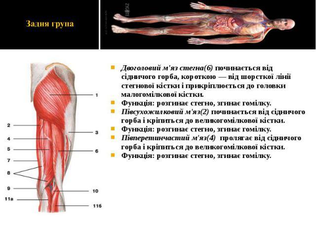 Двоголовий м'яз стегна(6) починається від сідничого горба, короткою — від шорсткої лінії стегнової кістки і прикріплюється до головки малогомілкової кістки. Двоголовий м'яз стегна(6) починається від сідничого горба, короткою — від шорсткої лінії сте…