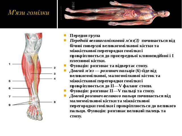 Передня група Передня група Передній великогомілковий м'яз(3) починається від бічної поверхні великогомілкової кістки та міжкісткової перегородки гомілки і прикріплюється до присередньої клиноподібної і І плеснової кістки. Функція: розгинає та відве…