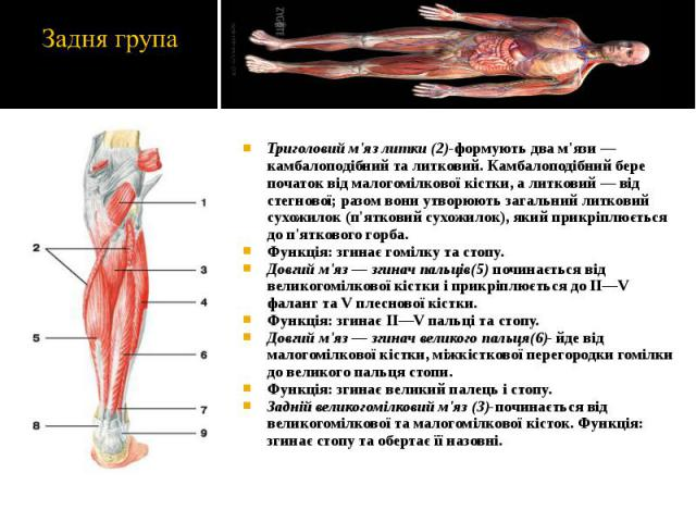 Триголовий м'яз литки (2)-формують два м'язи — камбалоподібний та литковий. Камбалоподібний бере початок від малогомілкової кістки, а литковий — від стегнової; разом вони утворюють загальний литковий сухожилок (п'ятковий сухожилок), який прикріплюєт…