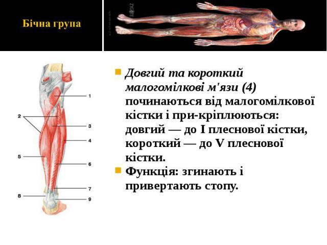 Довгий та короткий малогомілкові м'язи (4) починаються від малогомілкової кістки і прикріплюються: довгий — до І плеснової кістки, короткий — до V плеснової кістки. Довгий та короткий малогомілкові м'язи (4) починаються від малогомілкової кістк…