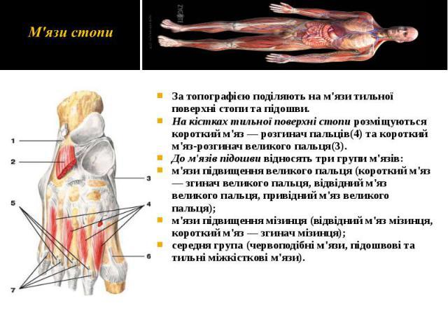 За топографією поділяють на м'язи тильної поверхні стопи та підошви. За топографією поділяють на м'язи тильної поверхні стопи та підошви. На кістках тильної поверхні стопи розміщуються короткий м'яз — розгинач пальців(4) та короткий м'яз-розгинач ве…