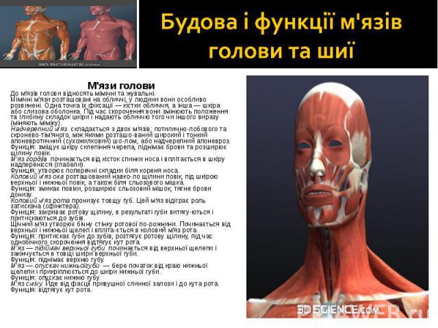 М'язи голови М'язи голови До м'язів голови відносять мімічні та жувальні. Мімічні м'язи розташовані на обличчі, у людини вони особливо розвинені. Одна точка їх фіксації — кістки обличчя, а інша — шкіра або слизова оболонка. Під час скорочення вони з…