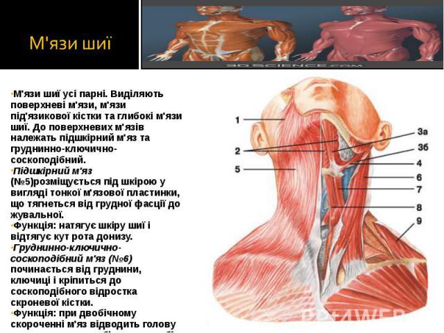 М'язи шиї усі парні. Виділяють поверхневі м'язи, м'язи під'язикової кістки та глибокі м'язи шиї. До поверхневих м'язів належать підшкірний м'яз та груднинно-ключично-соскоподібний. М'язи шиї усі парні. Виділяють поверхневі м'язи, м'язи під'язикової …