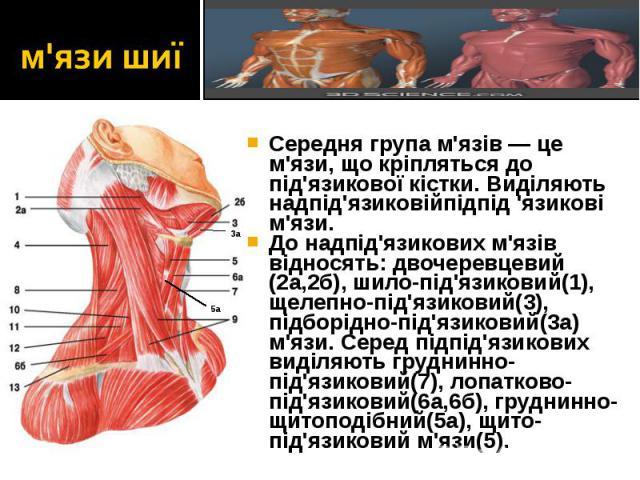 Середня група м'язів — це м'язи, що кріпляться до під'язикової кістки. Виділяють надпід'язиковійпідпід 'язикові м'язи. Середня група м'язів — це м'язи, що кріпляться до під'язикової кістки. Виділяють надпід'язиковійпідпід 'язикові м'язи. До надпід'я…
