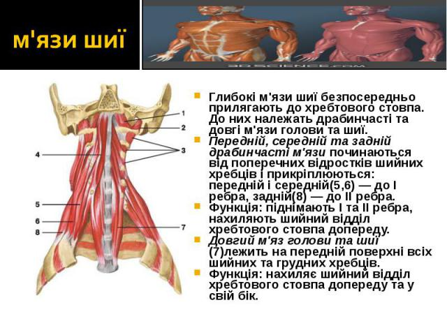 Глибокі м'язи шиї безпосередньо прилягають до хребтового стовпа. До них належать драбинчасті та довгі м'язи голови та шиї. Глибокі м'язи шиї безпосередньо прилягають до хребтового стовпа. До них належать драбинчасті та довгі м'язи голови та шиї. Пер…
