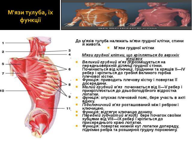До м'язів тулуба належать м'язи грудної клітки, спини й живота. До м'язів тулуба належать м'язи грудної клітки, спини й живота. М'язи грудної клітки М'язи грудної клітки, що кріпляться до верхніх кінцівок Великий грудний м'яз (9)розміщується на пере…