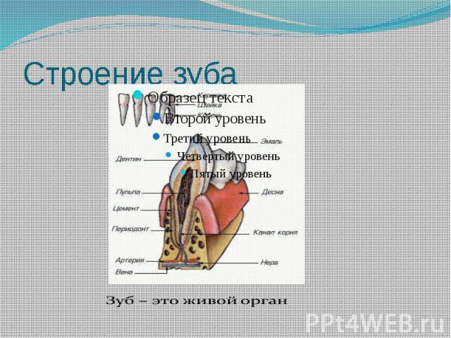 Строение зуба