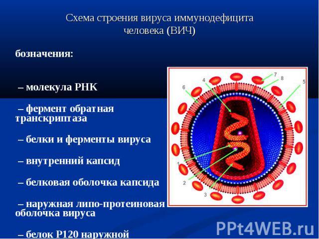 Обозначения: Обозначения: 1 – молекула РНК 2 – фермент обратная транскриптаза 3 – белки и ферменты вируса 4 – внутренний капсид 5 – белковая оболочка капсида 6 – наружная липо-протеиновая оболочка вируса 7 – белок Р120 наружной оболочки, 8 – белок Р…