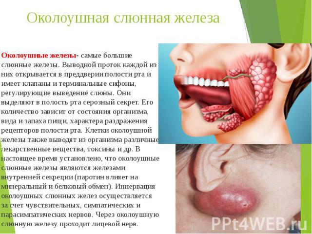 Околоушная слюнная железа Околоушные железы- самые большие слюнные железы. Выводной проток каждой из них открывается в преддверии полости рта и имеет клапаны и терминальные сифоны, регулирующие выведение слюны. Они выделяют в полость рта серозный се…