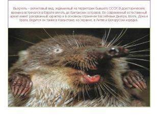 Выхухоль – реликтовый вид, эндемичный на территории бывшего СССР. В доисторическ