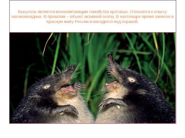 Выхухоль является млекопитающим семейства кротовых. Относится к классу насекомоядных. В прошлом – объект активной охоты. В настоящее время занесен в Красную книгу России и находится под охраной.
