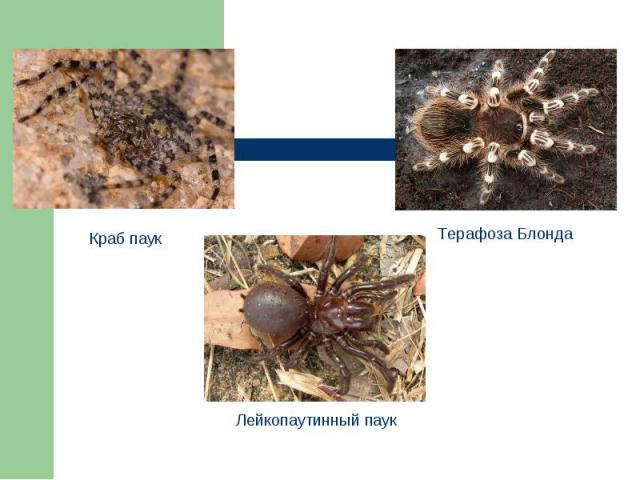 Краб паук Лейкопаутинный паук Терафоза Блонда