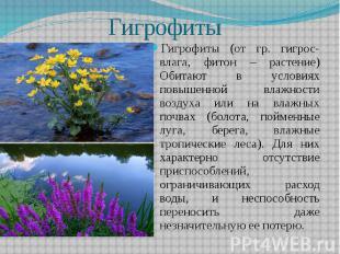 Гигрофиты Гигрофиты (от гр. гигрос- влага, фитон – растение) Обитают в условиях