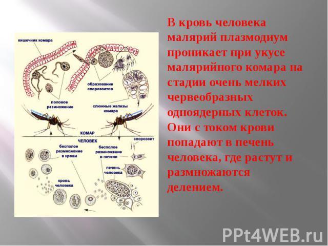 В кровь человека малярий плазмодиум проникает при укусе малярийного комара на стадии очень мелких червеобразных одноядерных клеток. Они с током крови попадают в печень человека, где растут и размножаются делением. В кровь человека малярий плазмодиум…