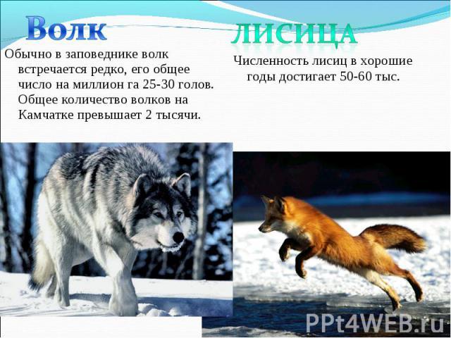 Обычно в заповеднике волк встречается редко, его общее число на миллион га 25-30 голов. Общее количество волков на Камчатке превышает 2 тысячи. Обычно в заповеднике волк встречается редко, его общее число на миллион га 25-30 голов. Общее количество …
