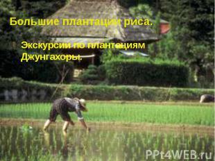 Большие плантации риса. Экскурсии по плантациям Джунгахоры.