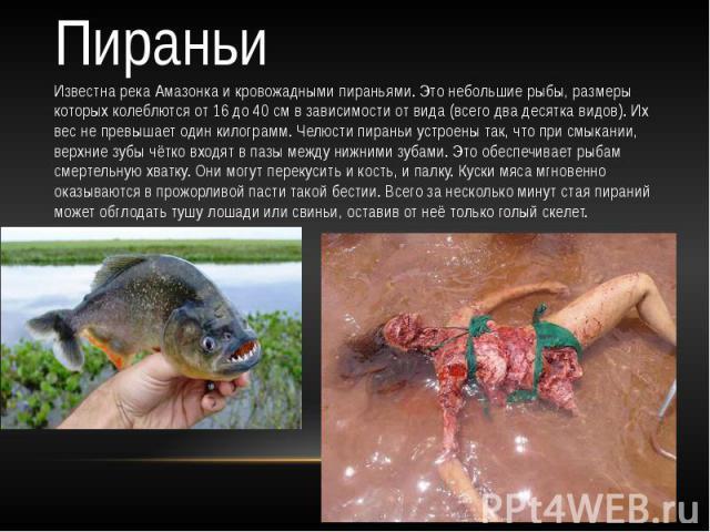 Пираньи Известна река Амазонка и кровожадными пираньями. Это небольшие рыбы, размеры которых колеблются от 16 до 40 см в зависимости от вида (всего два десятка видов). Их вес не превышает один килограмм. Челюсти пираньи устроены так, что при смыкани…