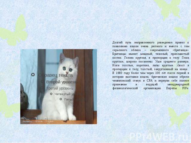 Долгий путь направленного разведения привел к появлению кошки очень уютного и вместе с тем серьезного облика – современного «британца». Британцы имеют мощный, тяжелый, приземистый костяк. Голова круглая, в пропорции к телу. Глаза круглые, широко пос…