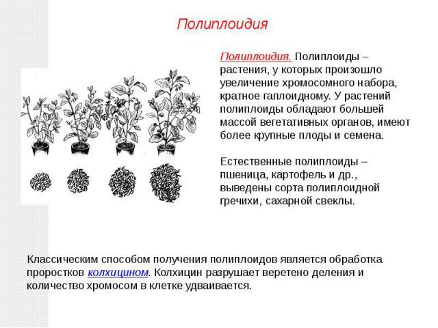 Полиплоидия. Полиплоиды – растения, у которых произошло увеличение хромосомного набора, кратное гаплоидному. У растений полиплоиды обладают большей массой вегетативных органов, имеют более крупные плоды и семена.Естественные полиплоиды – пшеница, ка…