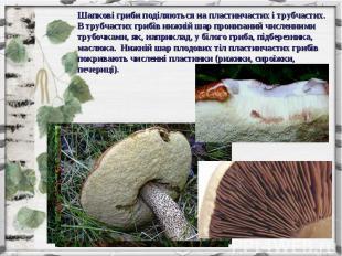 Шапкові гриби поділяються на пластинчастих і трубчастих. В трубчастих грибів ниж