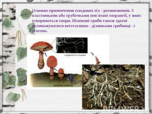 Основне призначення плодових тіл - розмноження. З пластинками або трубочками пов