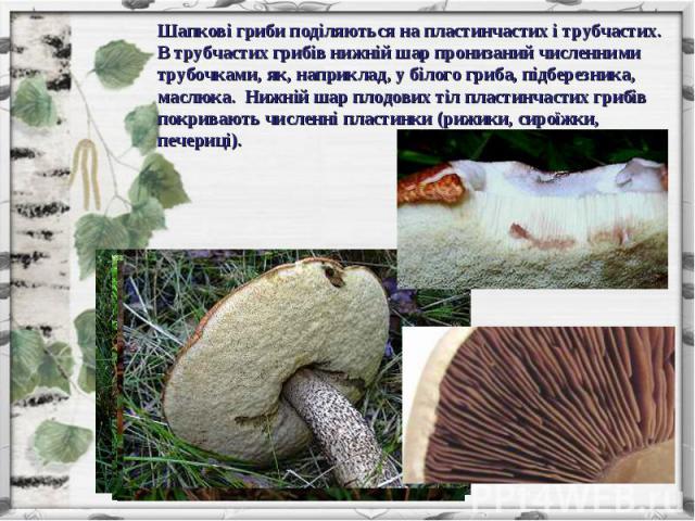 Шапкові гриби поділяються на пластинчастих і трубчастих. В трубчастих грибів нижній шар пронизаний численними трубочками, як, наприклад, у білого гриба, підберезника, маслюка. Нижній шар плодових тіл пластинчастих грибів покривають численні пластинк…