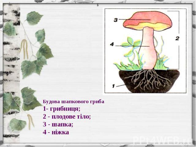 Будова шапкового гриба1- грибниця;2 - плодове тіло; З - шапка; 4 - ніжка