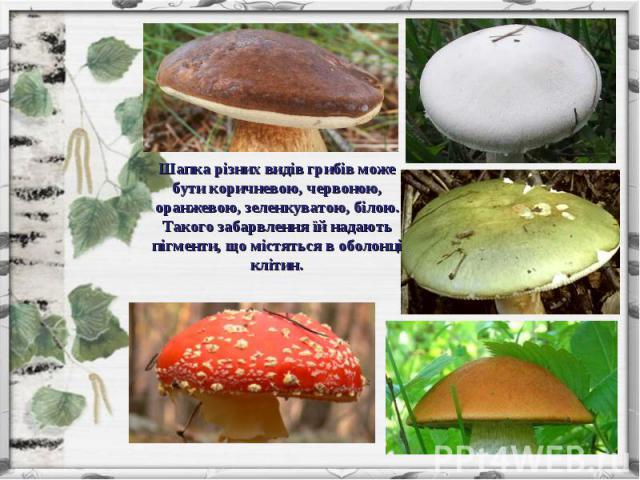 Шапка різних видів грибів може бути коричневою, червоною, оранжевою, зеленкуватою, білою. Такого забарвлення їй надають пігменти, що містяться в оболонці клітин.