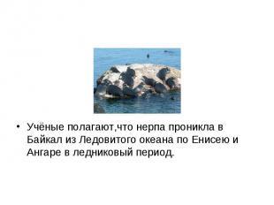 Учёные полагают,что нерпа проникла в Байкал из Ледовитого океана по Енисею и Анг