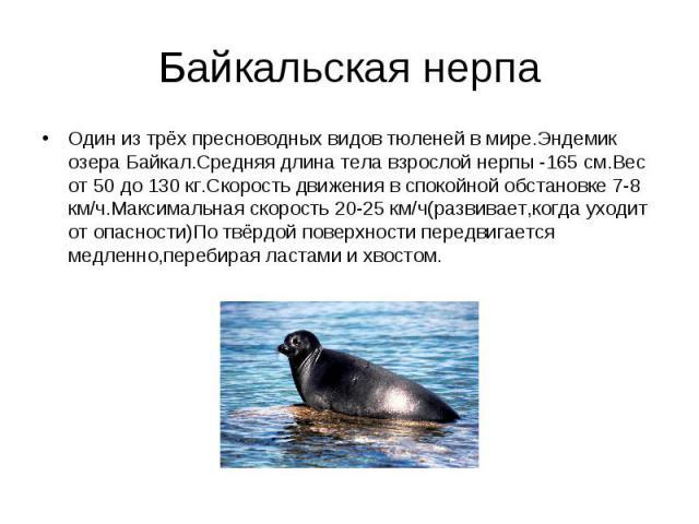 Один из трёх пресноводных видов тюленей в мире.Эндемик озера Байкал.Средняя длина тела взрослой нерпы -165 см.Вес от 50 до 130 кг.Скорость движения в спокойной обстановке 7-8 км/ч.Максимальная скорость 20-25 км/ч(развивает,когда уходит от опасности)…