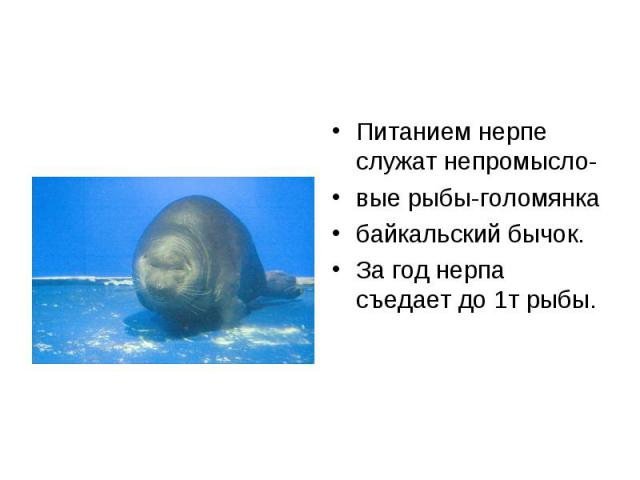 Питанием нерпе служат непромысло- Питанием нерпе служат непромысло- вые рыбы-голомянка байкальский бычок. За год нерпа съедает до 1т рыбы.