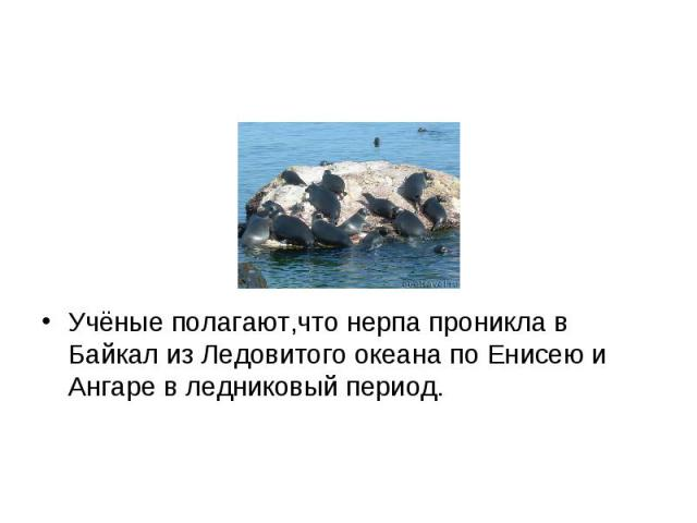 Учёные полагают,что нерпа проникла в Байкал из Ледовитого океана по Енисею и Ангаре в ледниковый период. Учёные полагают,что нерпа проникла в Байкал из Ледовитого океана по Енисею и Ангаре в ледниковый период.