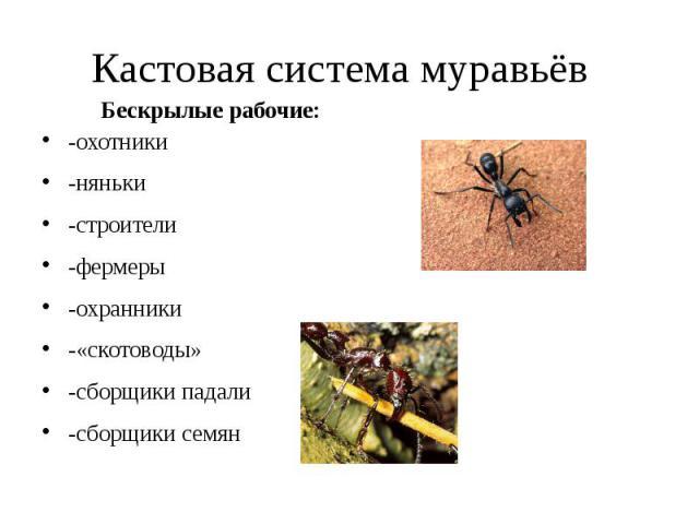 Кастовая система муравьёв -охотники -няньки -строители -фермеры -охранники -«скотоводы» -сборщики падали -сборщики семян