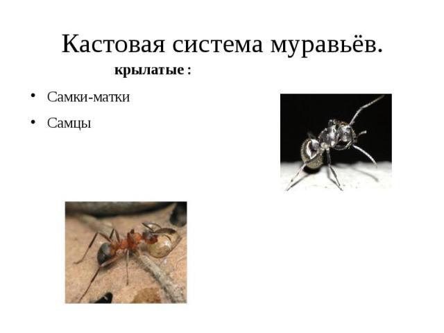 Кастовая система муравьёв. Самки-матки Самцы