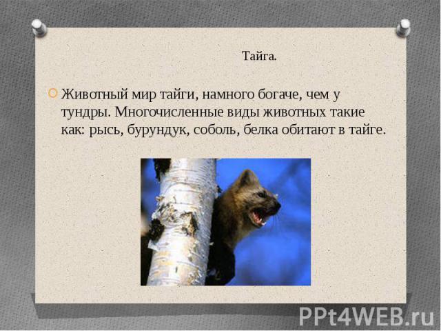 Тайга.Животный мир тайги, намного богаче, чем у тундры. Многочисленные виды животных такие как: рысь, бурундук, соболь, белка обитают в тайге.