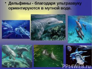 Дельфины - благодаря ультразвуку ориентируются в мутной воде. Дельфины - благода
