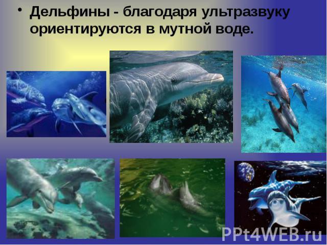 Дельфины - благодаря ультразвуку ориентируются в мутной воде. Дельфины - благодаря ультразвуку ориентируются в мутной воде.