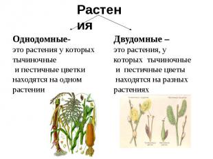 Однодомные-это растения у которых тычиночные и пестичные цветки находятся на одн