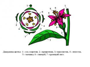 Диаграмма цветка: 1- ось соцветия, 2- прицветник, 3- чашелистик, 4- лепесток,