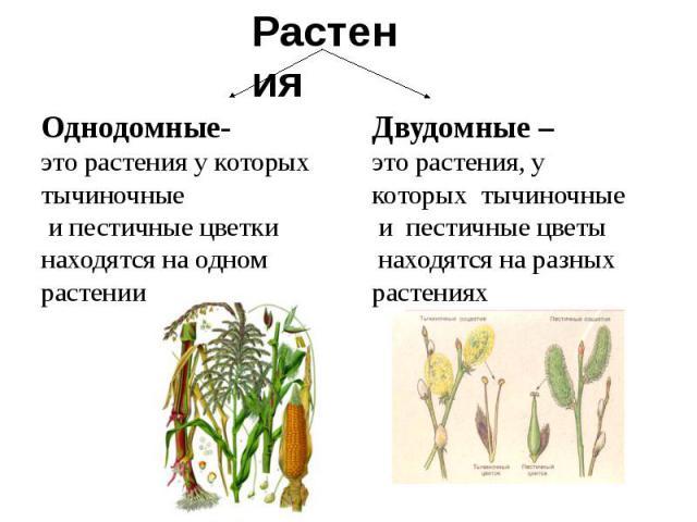 Однодомные-это растения у которых тычиночные и пестичные цветки находятся на одномрастенииДвудомные –это растения, укоторых тычиночные и пестичные цветы находятся на разныхрастениях